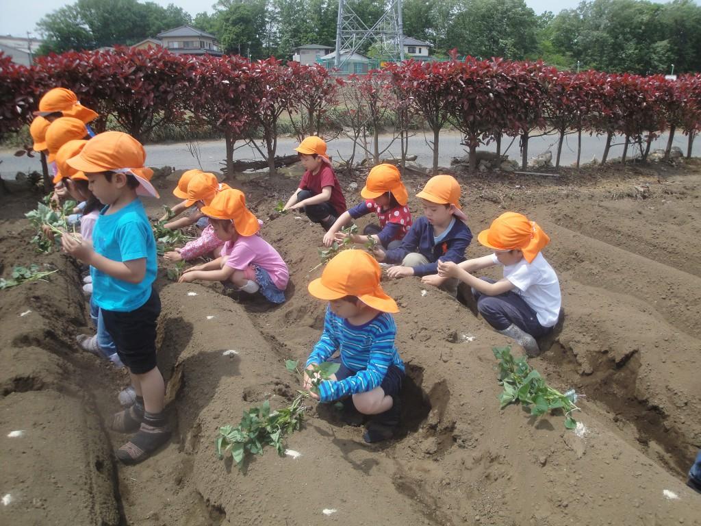 芋の植え付け